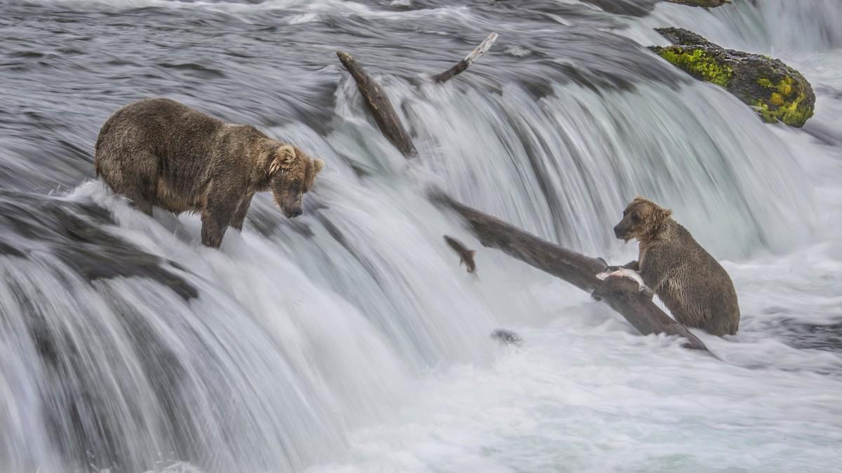 Bears Fishing In Alagnak River.jpg