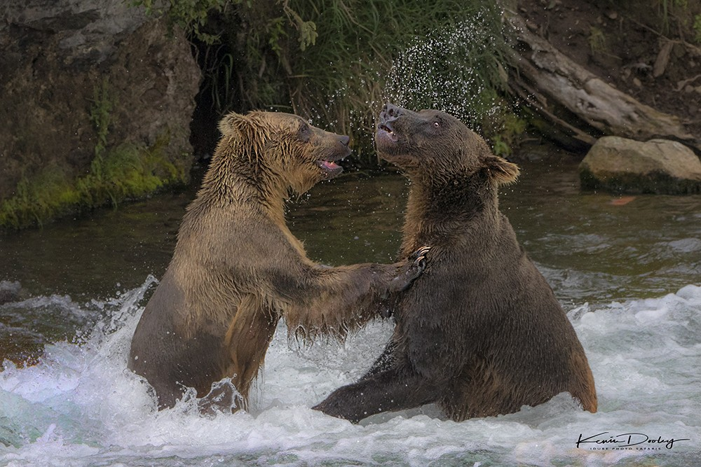 Two Bears Play Together.jpg
