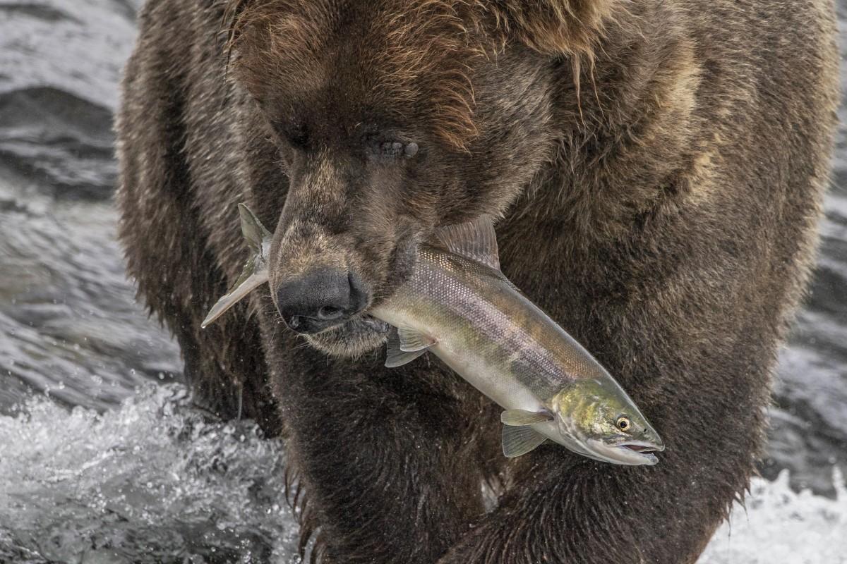 Brown Bear With Fish.jpg
